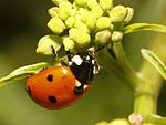 Coccinella septempunctata Fort Worth.jpg