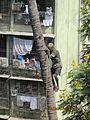 Coconut climber in Mumbai..jpg