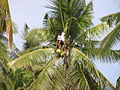 Coconuttuba.jpg