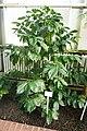 Coffea canephora-Jardin botanique de Berlin.jpg