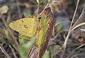 Colias croceus - Clouded Yellow.jpg