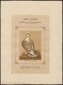 Columba domestica var. sericata - 1874- - Print - Iconographia Zoologica - Special Collections University of Amsterdam - UBA01 IZ18900185.tif