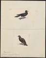 Columba spec. - 1700-1880 - Print - Iconographia Zoologica - Special Collections University of Amsterdam - UBA01 IZ15600195.tif