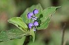 Commelina benghalensis inflorescence Layton 170 XTBG.JPG