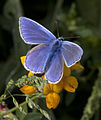 Common Blue butterfly (3597258659).jpg