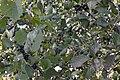 Common Buckthorn (Rhamnus cathartica) - Kitchener, Ontario 2019-09-14.jpg
