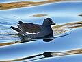 Common Gallinule (Gallinula galeata) RWD2.jpg