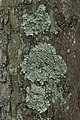 Common Greenshield Lichen - Flavoparmelia caperata (26782058857).jpg