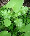 Common Groundsel-first buds.jpg