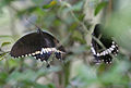 Common Mormon- Papilio polytes (cyrus form)- Female awaiting mating with Male in Kolkata Iws IMG 0258.jpg