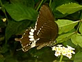 Common Mormon (Papilio polytes) at Madhurawada 01.JPG