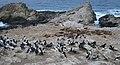 Common Murre and California Sea Lions (14097745868).jpg