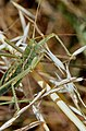Common Predatory Bush-cricket (Saga pedo) (36419104886).jpg