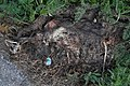 Common Raccoon (Procyon lotor), Dead - Kitchener, Ontario 02.jpg