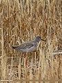 Common Redshank (Tringa totanus) (32072218663).jpg