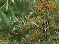Common Rosefinch (Carpodacus erythrinus) (15276753203).jpg