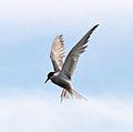 Common Tern 2 (5974228070).jpg
