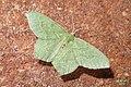 Common emerald (BG) (23572709638).jpg