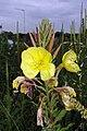 Common evening primrose - geograph.org.uk - 1364575.jpg