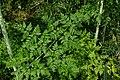 Conium maculatum leaf (11).jpg