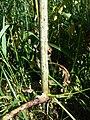 Conium maculatum sl7.jpg