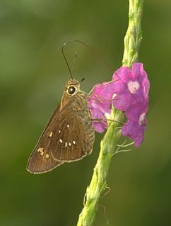 <i>Pelopidas conjuncta</i> species of insect
