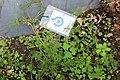 Conservatoire botanique national de Brest-Apium-fernandezianum-15 07 01-ClaudePERON1 (20226094541).jpg