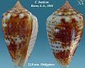 Conus boeticus 1.jpg