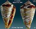 Conus crotchii 2.jpg