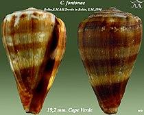 Conus fontonae 1.jpg