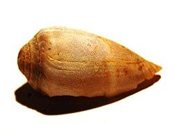 Conus mediterraneus 0031