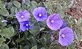 Convolvulus sabatius flores.jpg