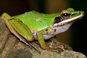 Description de l'image Copper Cheeked Tree Frog.jpg.
