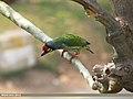 Coppersmith Barbet (Megalaima haemacephala) (15707888987).jpg
