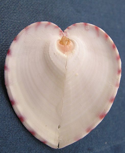 heart cockle Cockles of one's heart definition, any bivalve mollusk of the genus cardium, having somewhat heart-shaped, radially ribbed valves, especially c edule, the common edible species of europe.