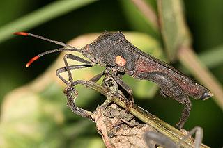 Pentatomomorpha infraorder of insects