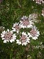 Coriandrum sativum 3c.JPG