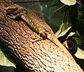 Corucia zebrata - Buffalo Zoo.jpg