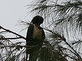 Corvus albus 0018.jpg