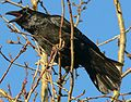 Corvus corax in Akureyri 4.jpeg