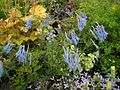 Corydalis flexuosa 'China Blue' 4.JPG