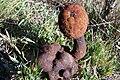 Corynea crassa.jpg