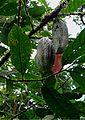 Costa Rica - Sarapiqui 04b.jpg