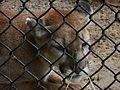 Cougar at the Springfield Illinois Zoo.JPG