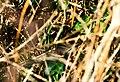 Couleuvre à collier camouflé dans la végétation.jpg