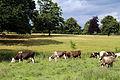 Cows at Great Waltham village, Essex, England 01.JPG
