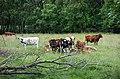 Cows in Gullmarsskogen 2.jpg