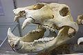 Crâne d'ours des cavernes - Saône-et-Loire.jpg