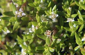 Crassula helmsii - shrubs and flowers of C. helmsii