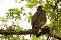 Crested Serpent Eagle (20460856041).jpg
